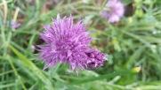 fleur de ciboulette