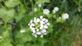 petite fleur blanche