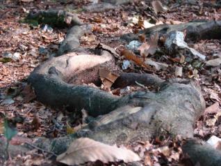 racine d'arbre en forêt