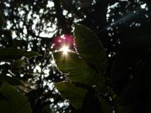 soleil derrière une feuille