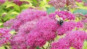 abeille sur fleurs