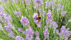 abeille sur lavande 2