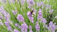 abeille sur lavande