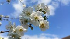 fleurs de cerisier 10