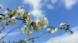fleurs de cerisier 11