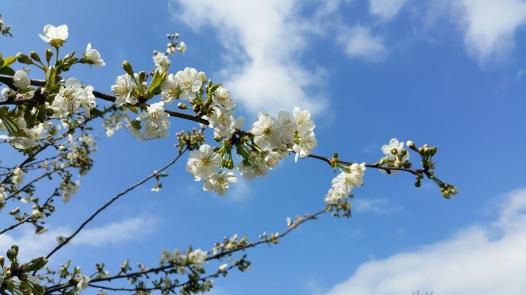 fleurs de cerisier 12