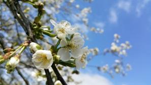 fleurs de cerisier 2