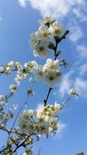 fleurs de cerisier 3
