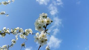 fleurs de cerisier 4