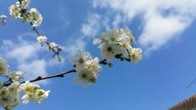 fleurs de cerisier 5