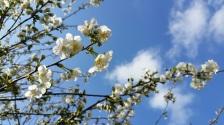 fleurs de cerisier 6
