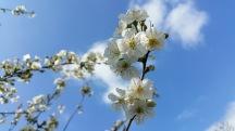 fleurs de cerisier 7