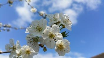 fleurs de cerisier 9