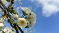 fleurs de cerisier