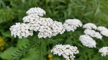 insectes sur fleurs blanches