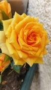 rose jaune