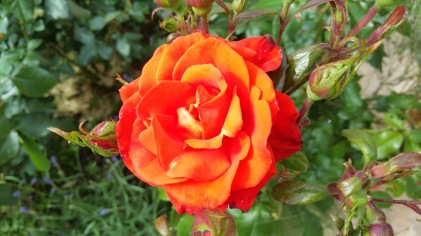 rose orange 2