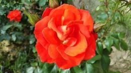 rose orange