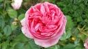 rose rose 2